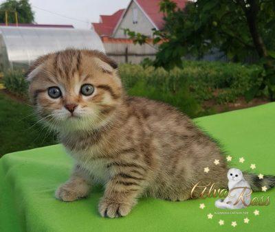 Scottish cats cattery Volgograd (1)