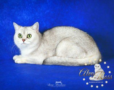 Scottish cats cattery Volgograd (10)