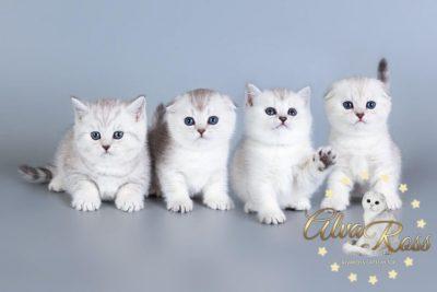 Scottish cats cattery Volgograd (11)