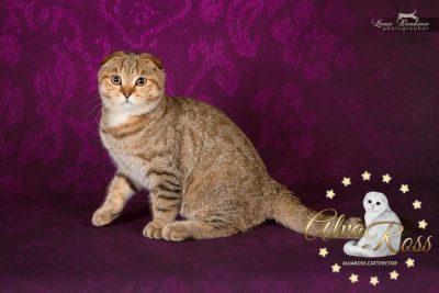 Scottish cats cattery Volgograd (2)