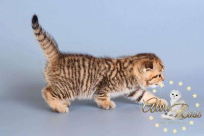 Scottish cats cattery Volgograd (3)