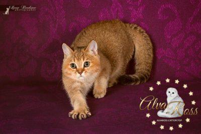 Scottish cats cattery Volgograd (4)