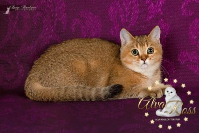 Scottish cats cattery Volgograd (5)