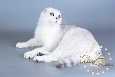 Scottish cats cattery Volgograd (6)