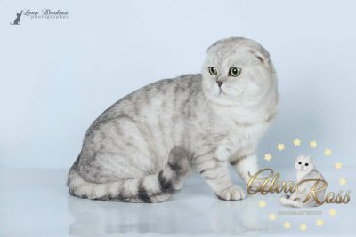 Scottish cats cattery Volgograd (8)