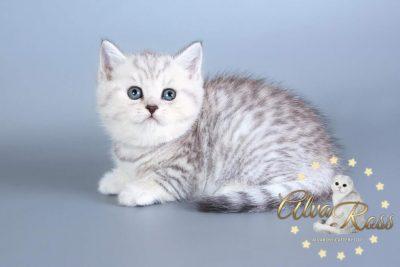 Scottish cats cattery Volgograd (9)