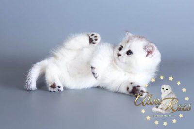 питомник шотландских кошек Волгоград (12)