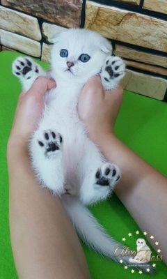питомник шотландских кошек Волгоград (7)