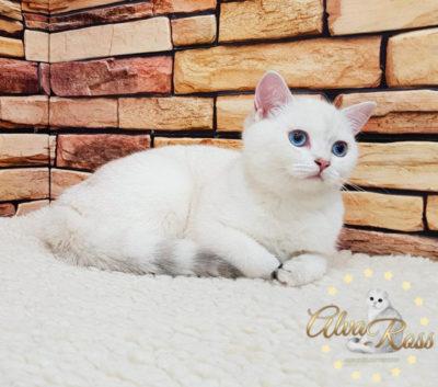 Этот же шотландский котенок окраса шиншилла-поинт в возрасте 4 месяца (имеет голубой цвет глаз)