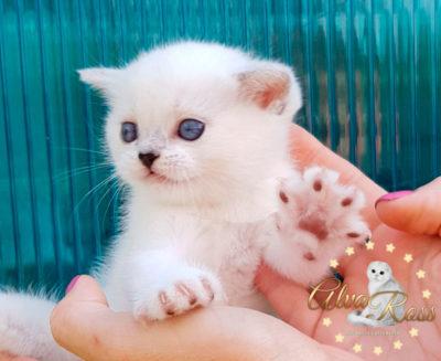 Голубоглазый прямоухий шотландский котенок окраса серебристая шиншилла поинтns 12 33