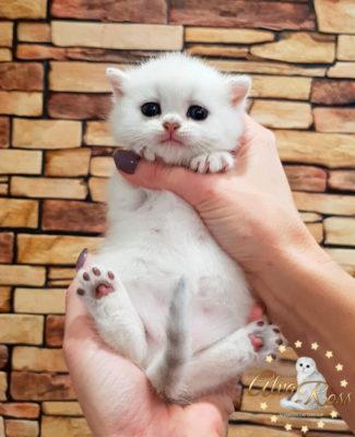Купить шотландского котенка окраса серебристая шиншилла фото (1)