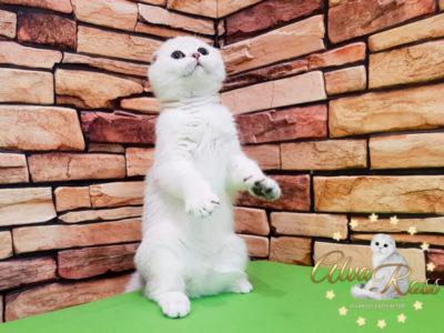 Купить шотландского котенка окраса серебристая шиншилла фото (2)