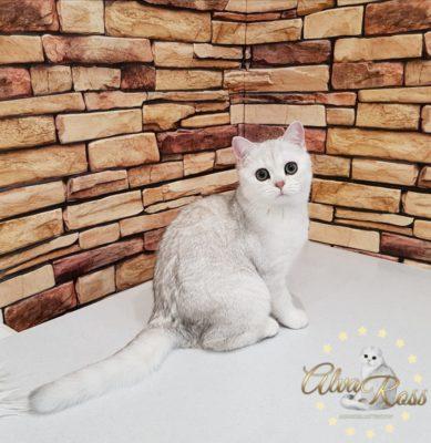 Купить шотландского котенка окраса серебристая шиншилла фото (3)