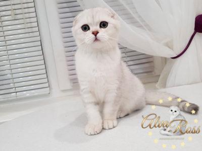 Купить шотландского котенка окраса серебристая шиншилла фото (4)