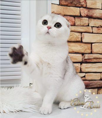 Купить шотландского котенка окраса серебристая шиншилла фото (5)