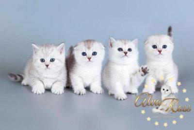 Купить шотландского котенка окраса серебристая шиншилла фото (6)