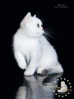 Купить шотландского прямоухого котенка окраса серебристая шиншилла фото (1)