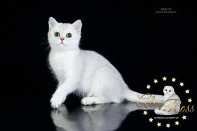 Купить шотландского прямоухого котенка окраса серебристая шиншилла фото (2)