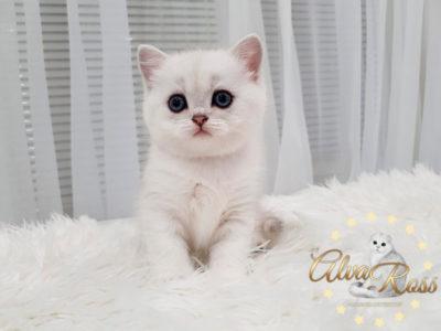 Купить шотландского прямоухого котенка окраса серебристая шиншилла фото (3)