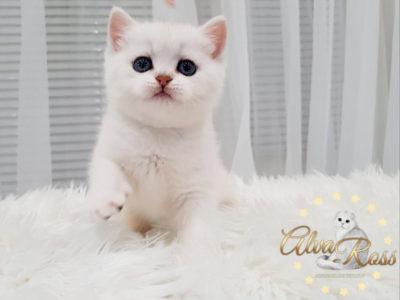 Купить шотландского прямоухого котенка окраса серебристая шиншилла фото (4)