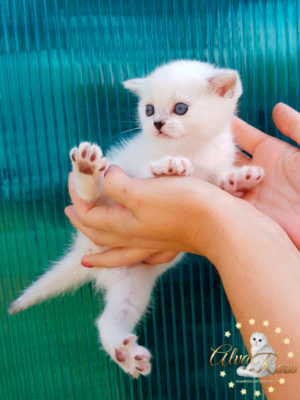 Купить шотландского прямоухого котенка окраса серебристая шиншилла поинт фото (1)