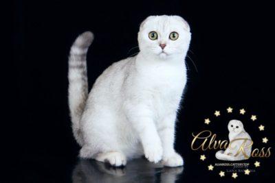 Купить шотландского вислоухого котенка окраса серебристая шиншилла фото (1)