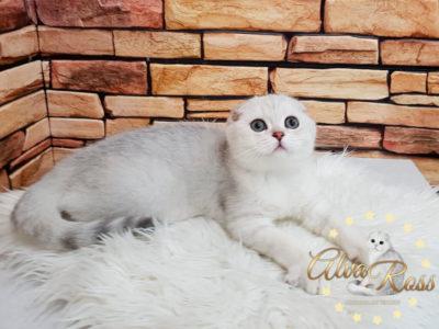 Купить шотландского вислоухого котенка окраса серебристая шиншилла фото (2)