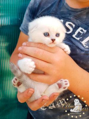 Купить шотландского вислоухого котенка окраса серебристая шиншилла поинт фото (1)