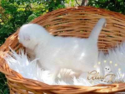 Купить шотландского вислоухого котенка окраса серебристая шиншилла поинт фото (2)