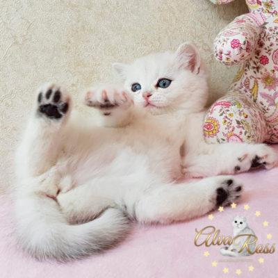 Прямоухие шотландские котята окраса шиншилла фото (1)