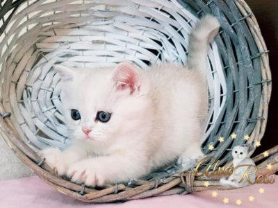 Прямоухие шотландские котята окраса шиншилла фото (2)