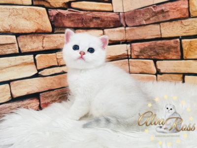 Прямоухие шотландские котята окраса шиншилла фото (3)
