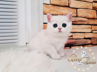 Прямоухие шотландские котята окраса шиншилла фото (4)