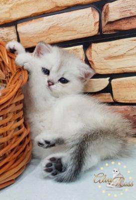 Прямоухие шотландские котята окраса шиншилла фото (6)