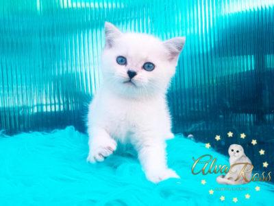Прямоухие шотландские котята окраса шиншилла-поинт фото (3)