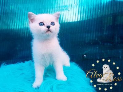 Прямоухие шотландские котята окраса шиншилла-поинт фото (4)