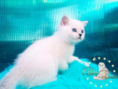 Прямоухие шотландские котята окраса шиншилла-поинт фото (5)