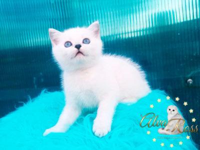 Прямоухие шотландские котята окраса шиншилла-поинт фото (6)