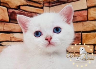 Прямоухие шотландские котята окраса шиншилла-поинт фото (7)