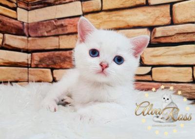 Прямоухие шотландские котята окраса шиншилла-поинт фото (8)