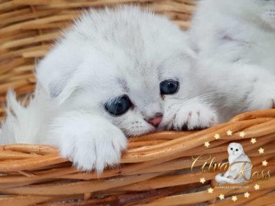 Шотландские котята окраса серебристая шиншилла фото (1)