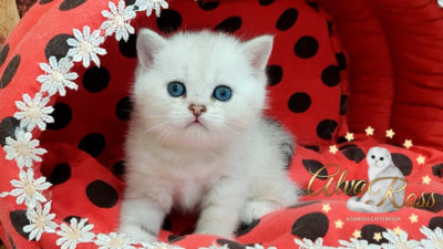 Шотландские котята окраса серебристая шиншилла фото (2)