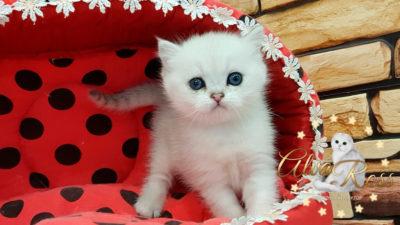 Шотландские котята окраса серебристая шиншилла фото (3)