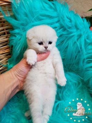 Шотландские котята окраса серебристая шиншилла фото (4)