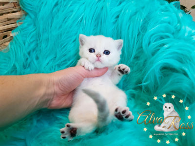 Шотландские котята окраса серебристая шиншилла фото (5)