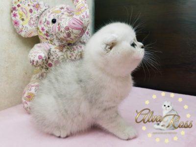 Шотландские котята окраса серебристая шиншилла фото (7)