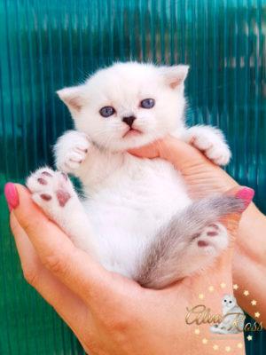 Шотландские котята окраса серебристая шиншилла поинт из АльваРосс фото (7)