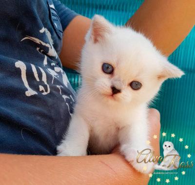 Шотландские котята окраса серебристая шиншилла поинт из АльваРосс фото (8)