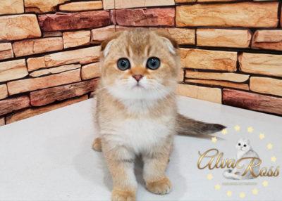 Шотландские котята окраса золотая шиншилла фото (2)
