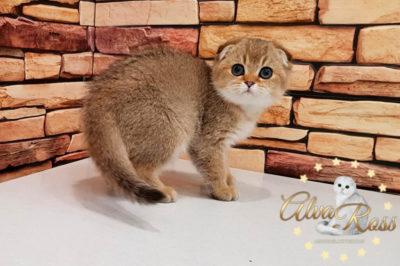 Шотландские котята окраса золотая шиншилла фото (3)